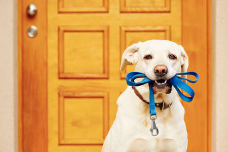 Labrador retriever with leash is waiting for walk.