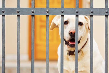Yellow labrador retriever waiting behind the fence
