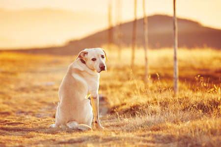 sunrise mountain: Yellow labrador retriever on the trip in mountains Stock Photo