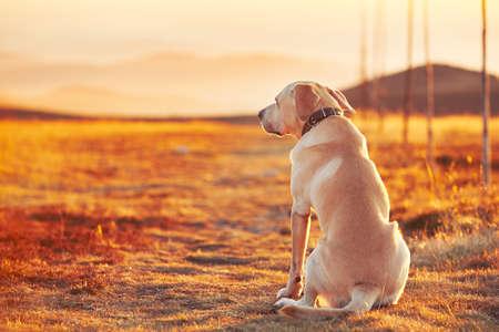 Yellow labrador retriever on the trip in mountains Stok Fotoğraf