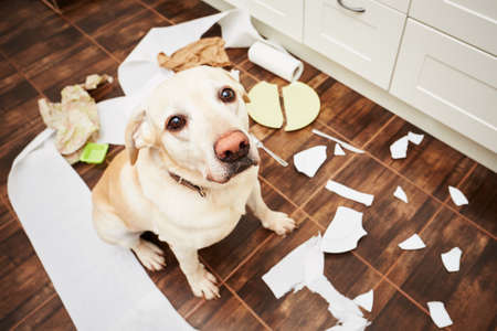 pets: Naughty dog - Lying dog in the middle of mess in the kitchen.