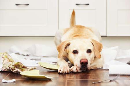 chien: Naughty Dog - Chien allongé au milieu du désordre dans la cuisine. Banque d'images