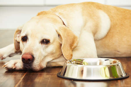 Hungry labrador with empty bowl is waiting for feeding
