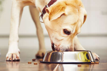 Hungry labrador retriever is feeding at home. Stok Fotoğraf