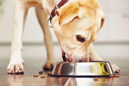 Hungry Labrador Retriever zu Hause füttert.