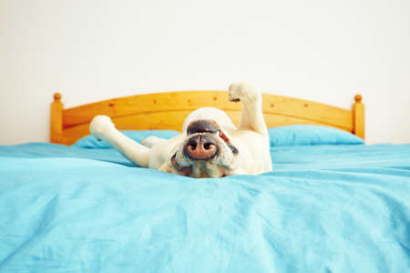 misbehave: Dog is lying on back on the bed - selective focus