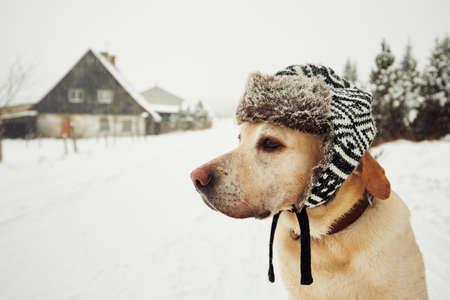 Labrador Retriever mit Mütze auf dem Kopf im Winter