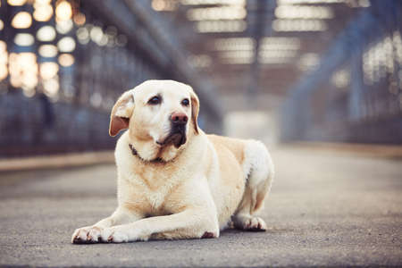 Yellow labrador retriever is waiting on the old bridge Stock Photo