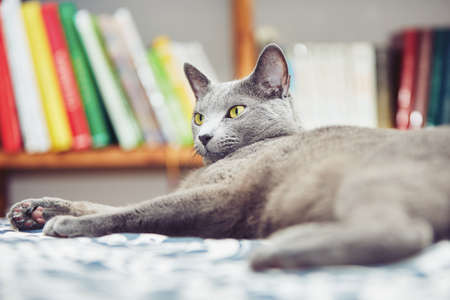 russian blue: Portrait of the russian blue cat at the home
