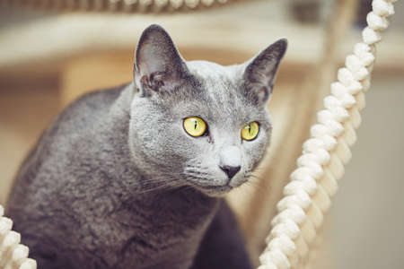 russian blue: Curious russian blue cat at the home