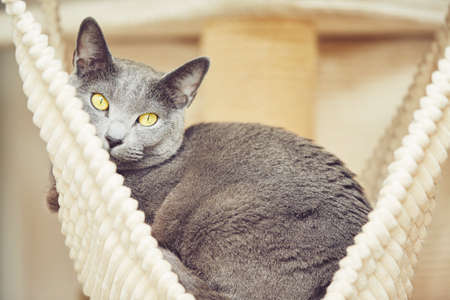 russian blue: Tired russian blue cat at the home
