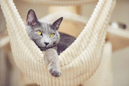 Portré az orosz kék macska otthonában Stock fotó