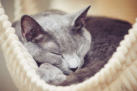russian blue: Sleepy russian blue cat at the home Stock Photo