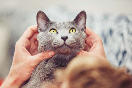 russian blue: Hand of young man with his russian blue cat.