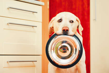food dish: Domestic life with dog. Hungry dog with sad eyes is waiting for feeding in home kitchen. Adorable yellow labrador retriever is holding dog bowl in his mouth. Stock Photo