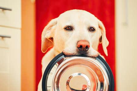 강아지와 함께 국내 생활. 슬픈 눈을 가진 배고픈 강아지 집 부엌에서 먹이를 기다리고있다. 사랑스러운 노란색 래브라도 리트리버는 그의 입에 강아 스톡 콘텐츠
