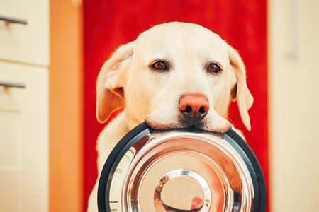 Domestic life with dog. Hungry dog with sad eyes is waiting for feeding in home kitchen. Adorable yellow labrador retriever is holding dog bowl in his mouth. Stock Photo