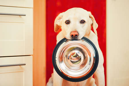Domestic life with dog. Hungry dog with sad eyes is waiting for feeding in home kitchen. Adorable yellow labrador retriever is holding dog bowl in his mouth. Stok Fotoğraf
