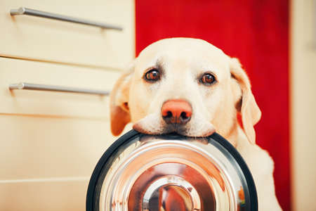 Domestic life with dog. Hungry dog with sad eyes is waiting for feeding in home kitchen. Adorable yellow labrador retriever is holding dog bowl in his mouth. Banque d'images