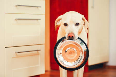 domestic life: Domestic life with dog. Hungry dog with sad eyes is waiting for feeding in home kitchen. Adorable yellow labrador retriever is holding dog bowl in his mouth. Stock Photo