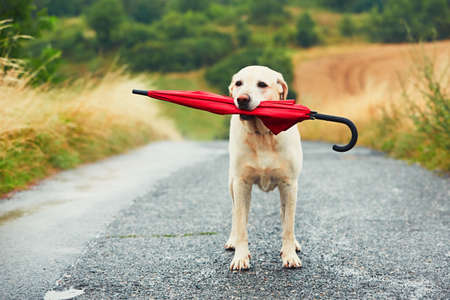 obedient: Obedient dog in rainy day. Adorable labrador retriever is holding red umbrella in mouth and waiting for his owner in rain.