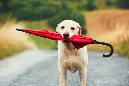 Obedient dog in rainy day. Adorable labrador retriever is holding red umbrella in mouth and waiting for his owner in rain.
