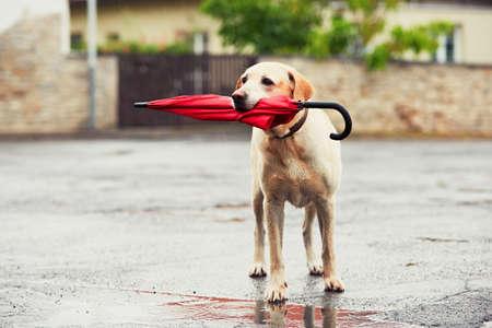 estado del tiempo: perro obediente en día de lluvia. Labrador retriever adorable está sosteniendo paraguas rojo en la boca y espera a su dueño en la lluvia.
