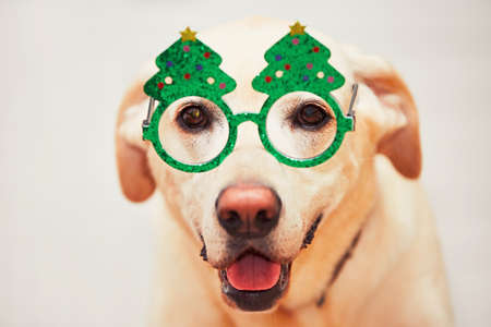 religious event: Christmas time with dog. Labrador retriever is wearing funny Christmas tree glasses.