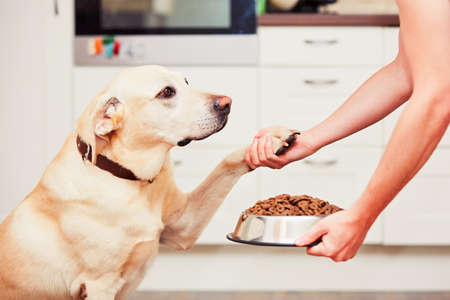 Fütterung hungrig Labrador Retriever. Der Eigentümer gibt seinem Hund eine Schüssel mit Granulat.