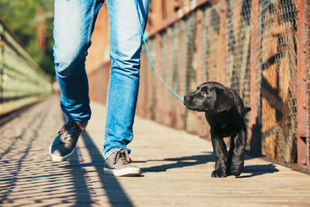 Morning walk with dog (black labrador retriever). Young man is training his puppy walking on the leash. Banco de Imagens