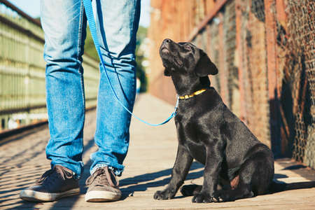 Morning walk with dog (black labrador retriever). Young man is training his puppy walking on the leash. Фото со стока