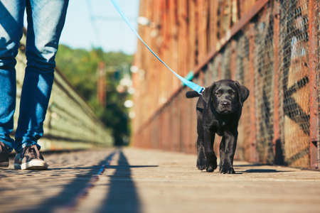 Morning walk with dog (black labrador retriever). Young man is training his puppy walking on the leash. Stok Fotoğraf