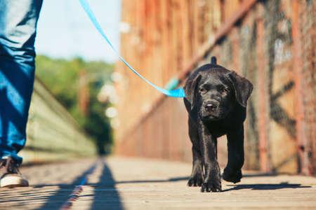 犬 (黒ラブラドル ・ レトリーバー犬) と朝の散歩。若い男綱の上を歩く彼の子犬のトレーニングです。