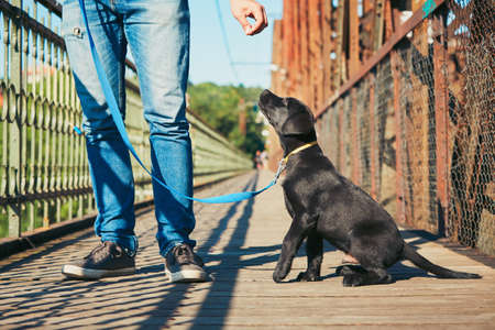 young guy: Morning walk with dog (black labrador retriever). Young man is training his puppy walking on the leash. Stock Photo