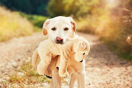 Geel labrador retriever op de gang in landelijk landschap. De hond houdt zijn pluchestuk speelgoed van de hond in mond. Stockfoto - 62776467