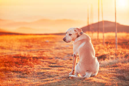 Dog at the sunset. Yellow labrador retriever on the trip in mountains. Jeseniky mountains, Czech Republic. Stock Photo
