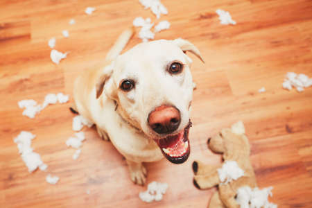 disobey: Naughty dog home alone - yellow labrador retriever destroyed the plush toy and made a mess in the apartment