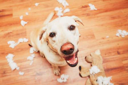 Travieso perro a casa solo - labrador retriever amarillo destruyó el juguete de peluche e hizo un lío en el apartamento Foto de archivo - 64857621