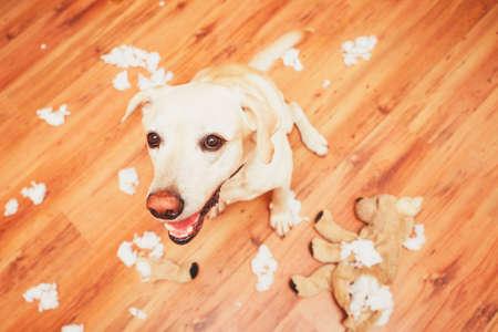 Travieso perro a casa solo - labrador retriever amarillo destruyó el juguete de peluche e hizo un lío en el apartamento Foto de archivo - 64857622