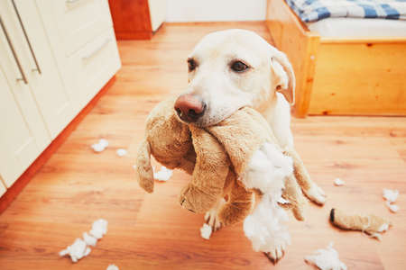 Naughty dog home alone - yellow labrador retriever destroyed the plush toy and made a mess in the apartment Zdjęcie Seryjne - 64857623