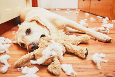 Naughty dog home alone - yellow labrador retriever destroyed the plush toy and made a mess in the apartment