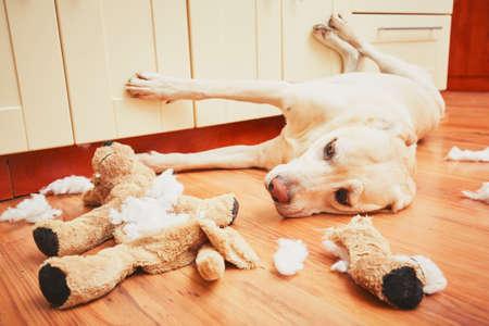 habitacion desordenada: Travieso perro a casa solo - labrador retriever amarillo destruyó el juguete de peluche e hizo un lío en el apartamento