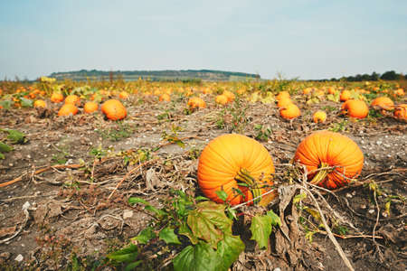 Autumn day in the countryside. Colorful ripe pumpkins on the field in the Czech Republic