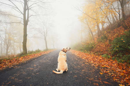Alone dog in mysterious fog in autumn. Labrador retriever waiting on the rural road. Stock Photo
