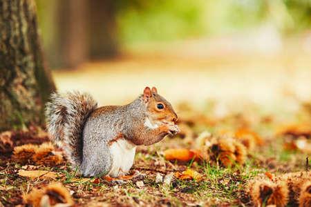 ardilla: ardilla linda y hambre comiendo una castaña en escena del otoño. Hyde Park, Londres, Reino Unido