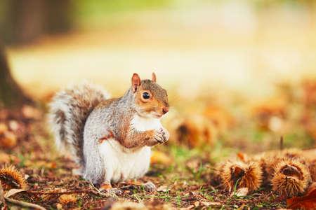 秋のシーンで栗を食べるかわいいと空腹のリス。ハイドパーク, ロンドン, イギリス