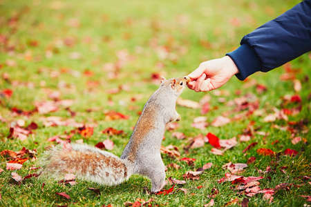 Hungry squirrel eating nut from man hand. Autumn scene in Hyde park, London, United Kingdom Stock Photo