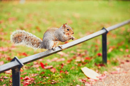 hyde: Cute and hungry squirrel eating a chestnut in autumn scene. Hyde park, London, United Kingdom