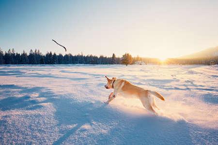 Pies w przyrodzie zimą. Żółty labrador retriever gry z kijem na zaśnieżonej łące podczas zachodu słońca