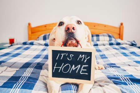 """집에서 개입니다. 노란색 래브라도 리트리버 침대에 누워 및 비문 칠판을 들고 : """"그것은 내 고향""""입니다."""
